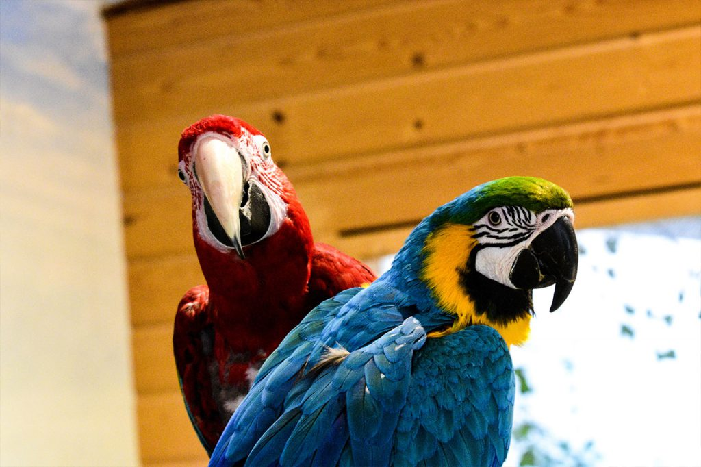 Two Parrots, one red and one blue